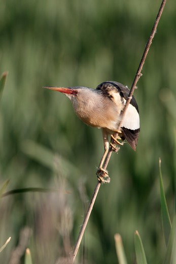 Little Bittern, Ixobrychus Minutus, Single Male On Reed, Bulgaria, May 2010 : Stock Photo