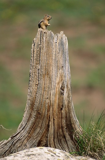 Stock Photo: 4141-6142 colorado chipmunk on tree stump eutamias quadrivittatus colorado, usa