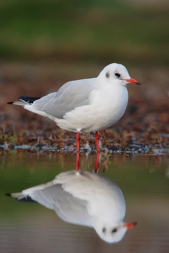 Stock Photo: 4141-61434 Black-Headed Gull, Larus Ridibundus, In Water, Norfolk, Uk, November 2009