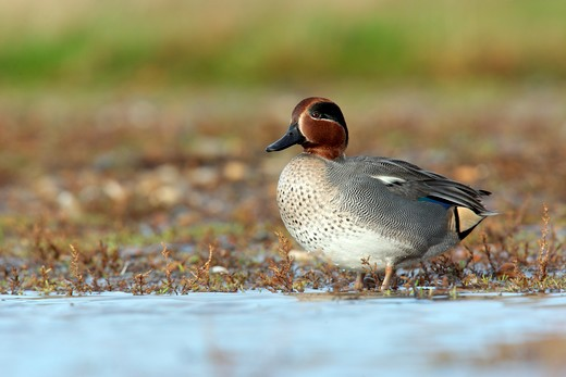 Stock Photo: 4141-61461 Teal, Anas Crecca, Single Male Standing By Water, Norfolk, November 2009