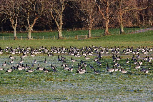 Stock Photo: 4141-61481 Barnacle Goose, Branta Leucopsis, Large Flock On Frozen Grass Field, Caerlaverock On The Solway, Dumfries And Galloway, Scotland, Winter 2009