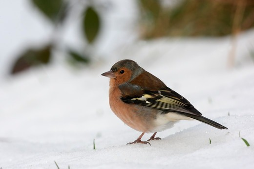 Stock Photo: 4141-61493 Chaffinch, Fringilla Coelebs, Single Male Standing On Snow, Dumfries, Scotland, Winter 2009