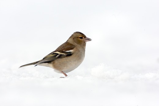 Stock Photo: 4141-61494 Chaffinch, Fringilla Coelebs, Single Female Standing On Snow, Dumfries, Scotland, Winter 2009