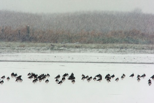 Stock Photo: 4141-61517 Northern Lapwing, Vanellus Vanellus, A Large Flock Standing In Snowfall, Lancashire, Winter 2009
