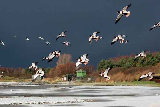 Shelduck, Tadorna Tadorna, A Flock Of Birds In Flight In Snowy Conditions, Martin Mere, Lancashire, Uk, Winter 2009 : Stock Photo
