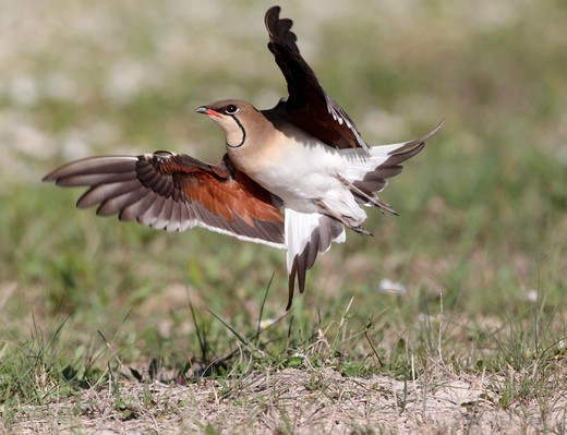 Stock Photo: 4141-61577 Collared Pratincole, Glareola Pratincola, Single Bird Launching Into Flight, Southern Spain, April 2010