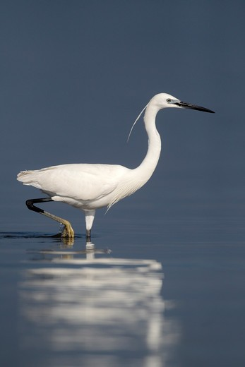 Stock Photo: 4141-61589 Little Egret, Egretta Garzetta, Single Bird Standing In Water, Western Spain, April 2010