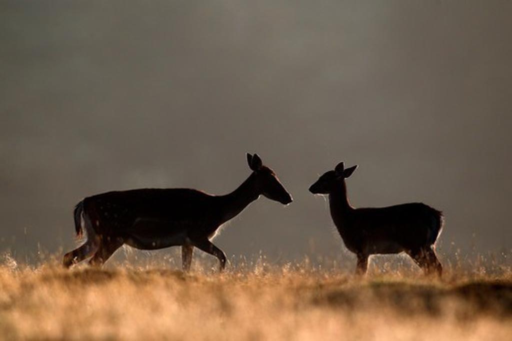 Fallow Deer, Dama Dama, Female And Young On Grass, Kent, September 2010 : Stock Photo