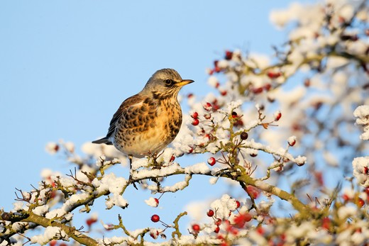 Fieldfare, Turdus Pilaris, Single Bird Feeding On Hawthorn Berries In Heavy Frost, Midlands, December : Stock Photo