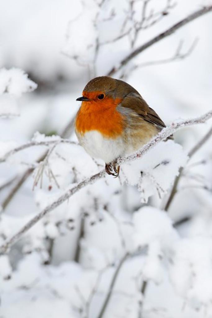 Robin, Erithacus Rubecula, Single Bird In Snow, West Midlands, December : Stock Photo