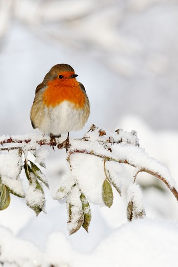 Stock Photo: 4141-61740 Robin, Erithacus Rubecula, Single Bird In Snow, West Midlands, December