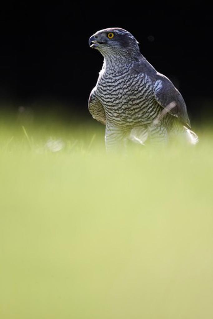 Stock Photo: 4141-61869 Goshawk, Accipiter Gentilis, Single Bird Head Shot, Captive, April 2011