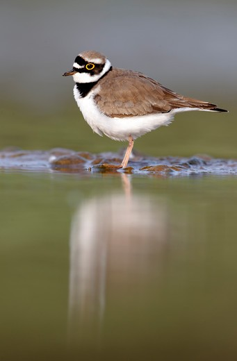 Stock Photo: 4141-61887 Little-Ringed Plover, Charadrius Dubius, Single Bird By Water, Midlands, April 2011