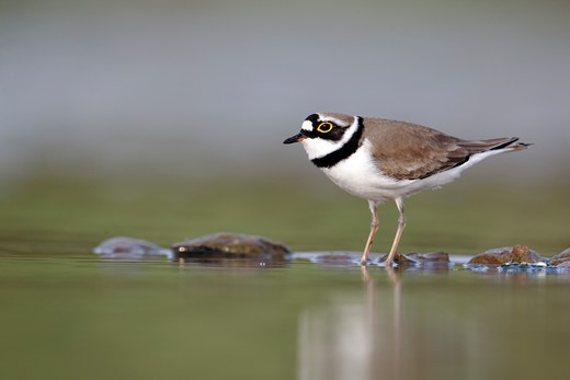 Stock Photo: 4141-61893 Little-Ringed Plover, Charadrius Dubius, Single Bird By Water, Midlands, April 2011
