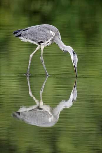 Grey Heron, Ardea Cinerea, Single Juvenile Bird With Reflection In Water, Midlands, July 2011 : Stock Photo