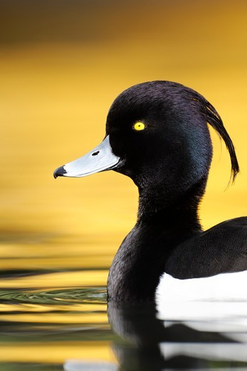 Tufted Duck, Aythya Fuligula, Single Male On Water With Yellow Reflection, London,  April : Stock Photo