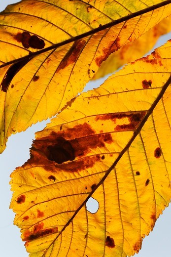 Stock Photo: 4141-62023 Horse Chestnut, Aesculus Hippocastanum, Yellow Leaf In Autumn, September 2011