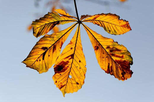 Stock Photo: 4141-62024 Horse Chestnut, Aesculus Hippocastanum, Yellow Leaf In Autumn, September 2011