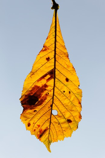 Stock Photo: 4141-62025 Horse Chestnut, Aesculus Hippocastanum, Yellow Leaf In Autumn, September 2011