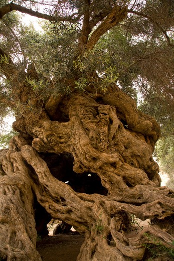 Stock Photo: 4141-62077 World'S Oldest Olive Tree (Olea Europaea) Vouves, Crete, Greece. Around 3500 Years Old. 12 Metre Circumference Of Trunk. Leaves Provide The Crown For Marathon Winners Of Recent Olympic Games.