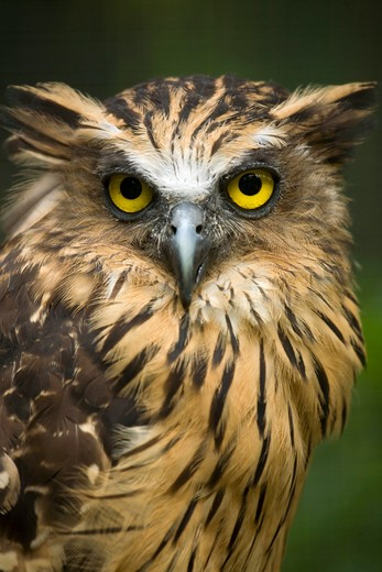 Stock Photo: 4141-62118 Buffy Fishing Owl (Ketupa Ketupu)