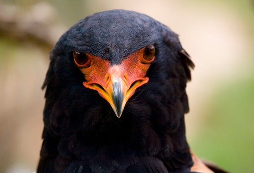 Bateleur Eagle (Terathopius Ecaudatus) South Africa. : Stock Photo