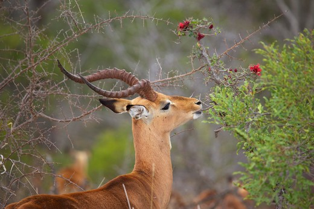 Impala (Aepyceros Melampus Melampus) Feeding, Kruger National Park, South Africa. : Stock Photo