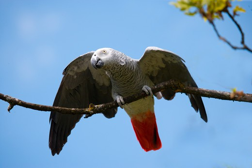 African Grey Parrot (Psittacus Erithacus). Also Called Grey Parrot : Stock Photo