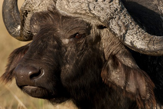 African Buffalo, Syncerus Caffer, Along Lake Shore In Lake Nakuru National Park, Kenya : Stock Photo
