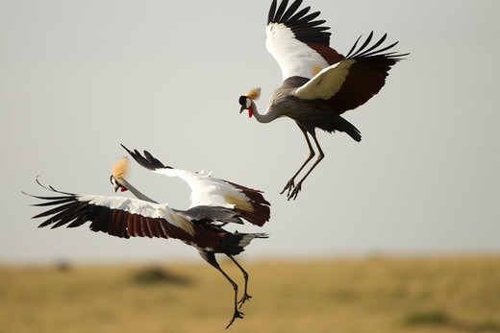 Grey Crowned Crane, Balearica Regulorum, Doing Courtship Dance, Mara Triangle, Masai Mara Game Reserve, Kenya, Africa : Stock Photo
