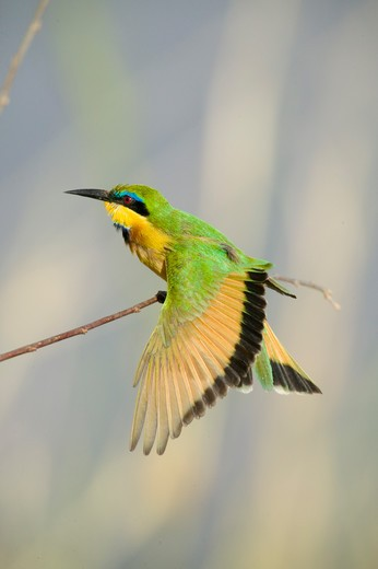 Stock Photo: 4141-62511 Little Bee-Eater, Merops Pusillus, Sitting On A Tree Branch In The Masai Mara Gr, Kenya.