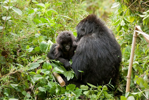 Mountain Gorilla, Gorilla Beringei Beringei, Agashya Group, Female With Baby Three Months Old, In Rwamikore Crater, Volcanoes National Park, Rwanda, East Africa : Stock Photo