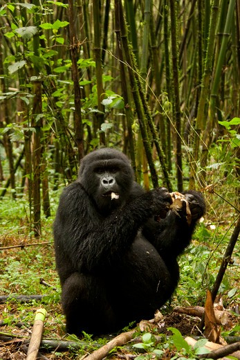 Stock Photo: 4141-62558 Mountain Gorilla, Gorilla Beringei Beringei, Sabyinyo Group, Male Adolescent Eating Bamboo,  Volcanoes National Park, Rwanda, East Africa
