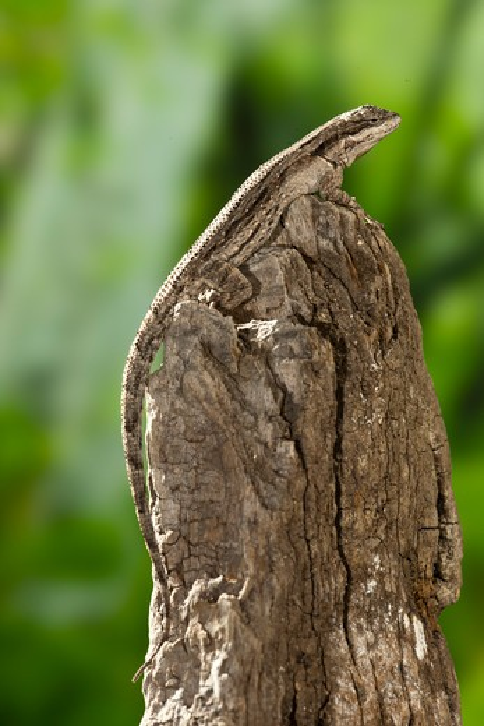 Ornate Tree Lizard, Urosaurus Ornatus, Se Arizona, Usa : Stock Photo