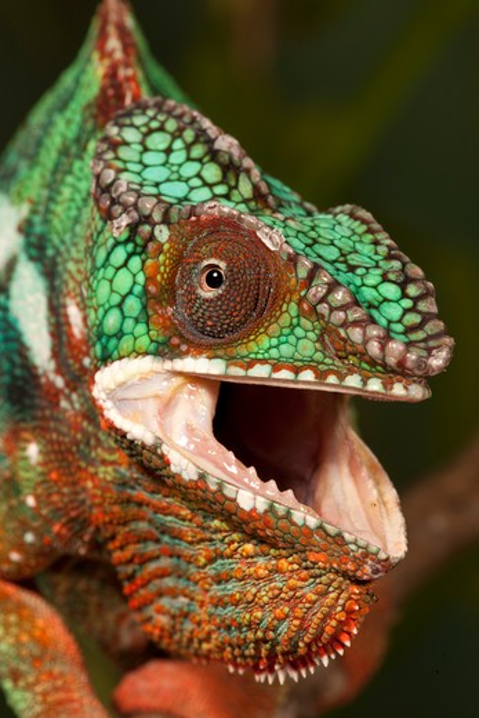 Panther Chameleon, Furcifer Pardalis, Madagascar. Controlled Situation. : Stock Photo