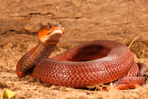 Red Spitting Cobra, Mozambique Spitting Cobra, Naja Mossambica Pallida, In Defensive, Spitting Position. Southern Africa. Controlled Situation. : Stock Photo