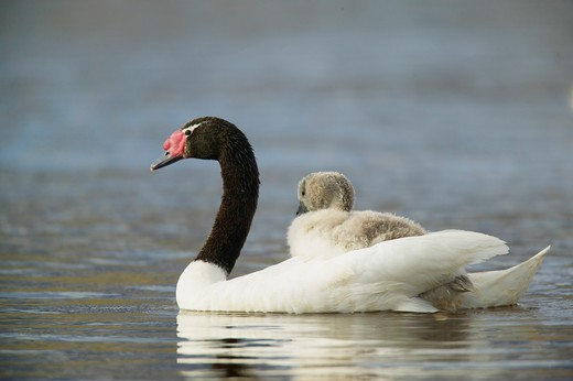Black-Necked Swan, Cygnus Melanocorypha, With Young On Back, Torres Del Paine National Park, Chile, S.A. : Stock Photo