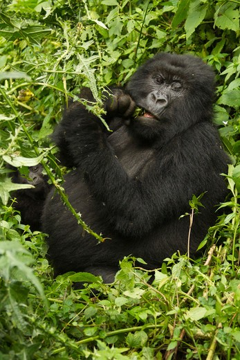 Stock Photo: 4141-62700 Mountain Gorilla, Gorilla Gorilla Beringei, Kwitonda Group, Volcanoes National Park, Rwanda