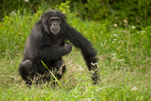 Stock Photo: 4141-62731 Common Chimpanzee, Pan Troglodytes, Posing In Sweetwater Conservancy, Kenya, Africa