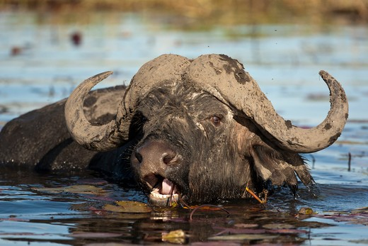 African Cape Buffalo, Syncerus Caffer Caffer, Feeding On Water Lilies In Chobe National Park, Botswana, South Africa : Stock Photo
