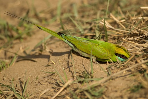 Stock Photo: 4141-62818 Green Bee-Eater, Merops Orientalis, In Kanha National Park, Madhya Pradesh, India