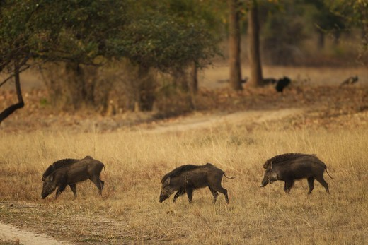 Stock Photo: 4141-62844 Indian Wild Boar, Sus Scrofa Cristatus,In Bandhavgarh National Park, Madhya Pradesh, India, Asia