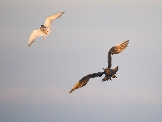 Stock Photo: 4141-62862 Arctic Skua Stercorarius Parasiticus   Arctic Tern Sterna Paradisaea  An Arctic Skua Closes As It Pursues An Arctic Tern For Its Catch. July.   Shetland Islands, Scotland, Uk