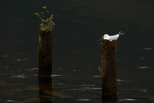 Stock Photo: 4141-62918 Common Gull Larus Canus  An Adult Sitting On Its Nest, Cleverly Constructed On A Tree Stump On The Fringes Of Loch Lomond. Scotland, Uk