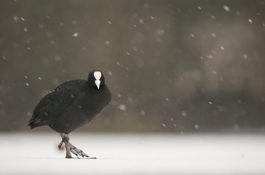 Stock Photo: 4141-62926 Coot Fulica Atra  An Adult Walking Across A Frozen Lake During A Blizzard.   Derbyshire, Uk