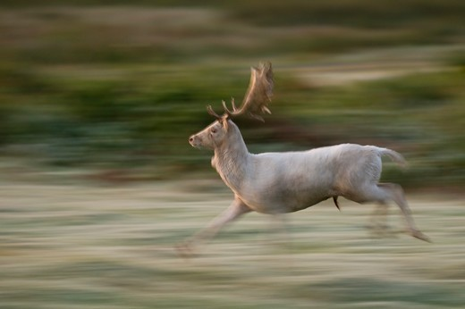 Stock Photo: 4141-62950 Fallow Deer Dama Dama  A White Adult Buck Running During The Half Light Before Dawn.  Leicestershire, Uk.