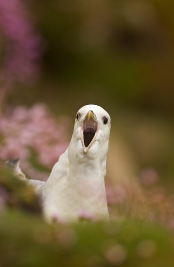 Stock Photo: 4141-62962 Fulmar Fulmarus Glacialis  An Adult Displaying Its Cackling Call Among Coastal Thrift. May.  Saltee Islands, Republic Of Ireland, Uk