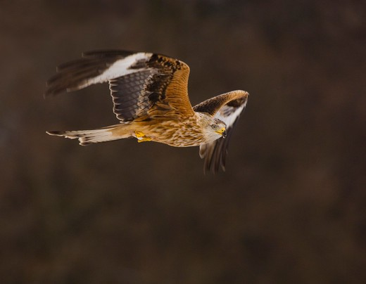 Stock Photo: 4141-63140 Red Kite Milvus Milvus  An Adult, Lit From Underneath By Reflected Snow Lyinng On The Ground, In Flight. February. Gigrin Farm, Mid Wales, Uk