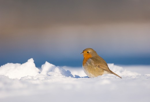 Robin Erithacus Rubecula  Portrait Of An Adult On Snow Covered Ground. January.   Derbyshire, Uk. : Stock Photo