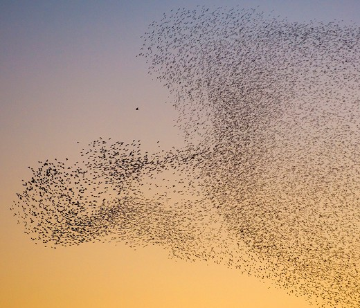 Stock Photo: 4141-63213 Starling Sturnus Vulgaris  Thousands Of Starlings Form An Arc Around A Predatory Peregrine Falcon As They Move Collectively To Avoid It.   Scottish Borders, Scotland, Uk